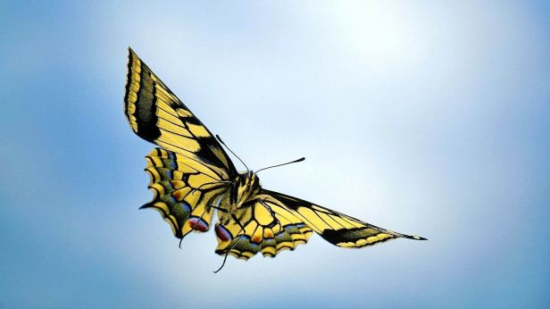 flying-colorful-butterfly-images-5-cool-wallpaper