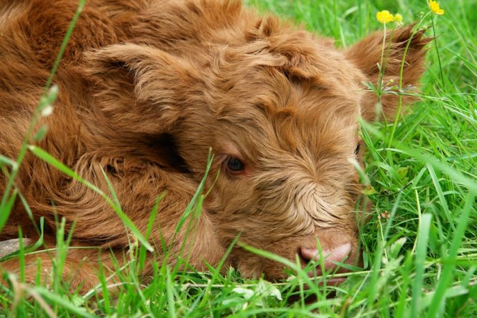 beef-calf-cow-302391